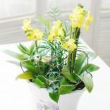 [FL37] Lemonade - Orchid Plant
